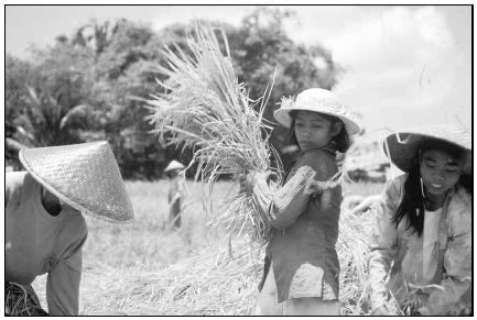 Harvesting rice is labor intensive, but Indonesia now produces almost enough rice to feed its population. Cory Langley