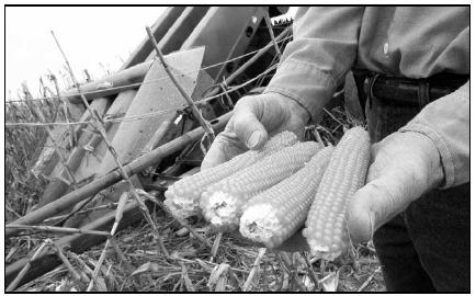 Ears of popcorn are harvested by this farmer. The kernels will be removed from the cob later, and packaged for sale. Native Americans introduced both popcorn and wild rice to European settlers. AP Photo/J.D. Pooley